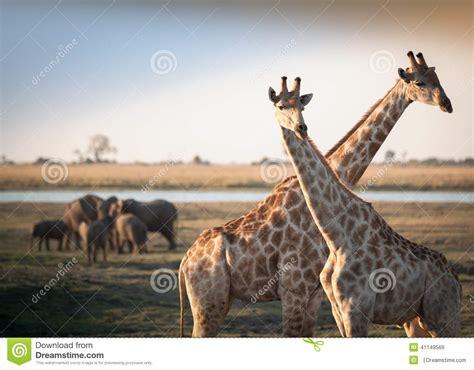 imágenes de jirafas y elefantes jirafas cruzadas con los elefantes foto de archivo