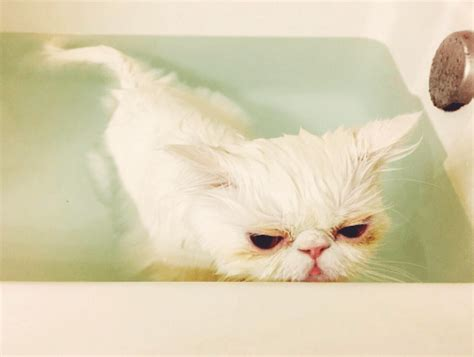 8 Tips On Bathing Your Feline by 15 Tips For Bathing Your Cat Iheartcats
