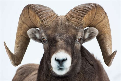 ram animal pictures bighorn sheep christopher martin photography
