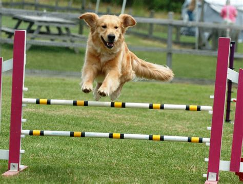 puppy agility agility do emotions get in the way of a top performance doggymom