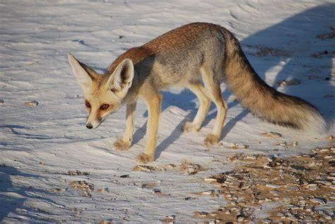 is a fox a r 252 ppell s fox
