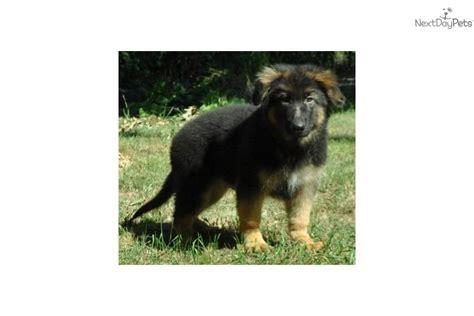 plush coat german shepherd puppies for sale german shepherd puppy for sale near springfield missouri c4b89b93 22c1