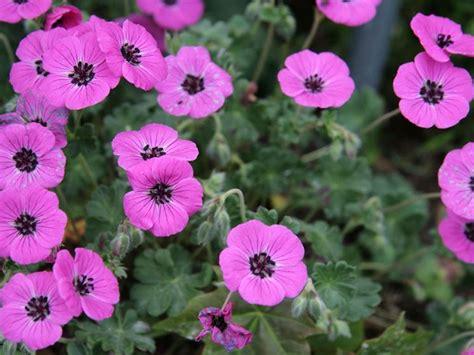 sementi fiori perenni geranio selvatico geranium geranium perenni