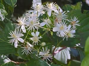 posologia fiori di bach fiori di bach piante medicinali come usare i fiori di bach