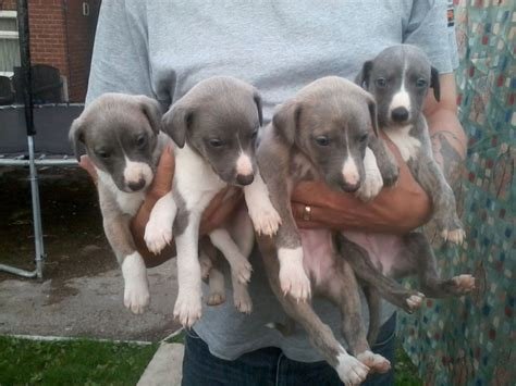 whippet puppies for sale whippet pups for sale pontefract west pets4homes