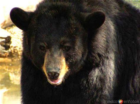imagenes oso negro oso negro americano ciudad victoria tamaulipas