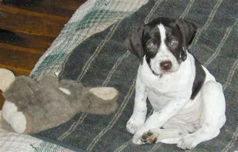 rottweiler pointer mix pointer mix puppies www pixshark images galleries with a bite