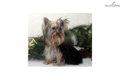 yorkie puppies for sale in denver posil terrier yorkie puppy for sale near denver colorado 53bfd9d5 61d1