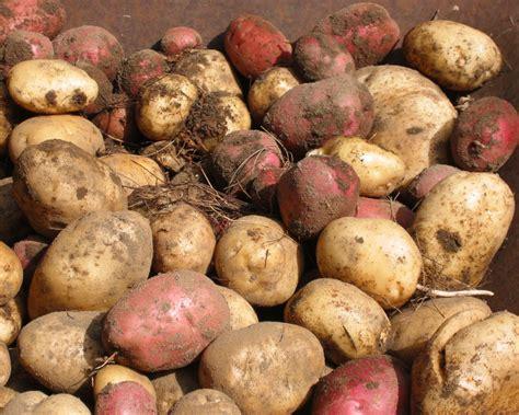 Gardening Potatoes Growing Potatoes Vegetable Gardener