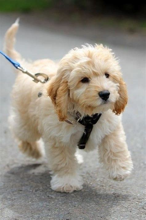 golden labradoodle puppies golden doodle puppy fluffy family labradoodles puppys and big dogs