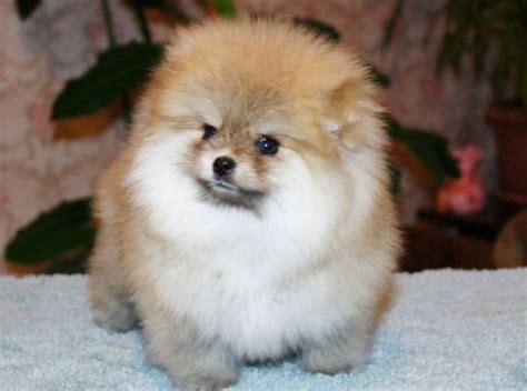 what colors do pomeranians come in teacup pomeranian the complete owners guide