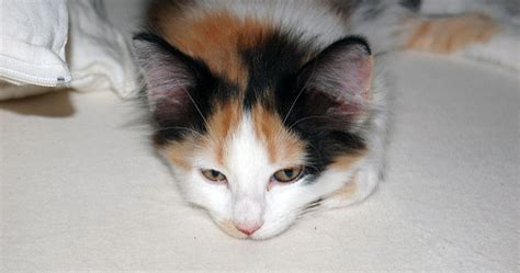 calico color what color was my calico kitten s cat advice