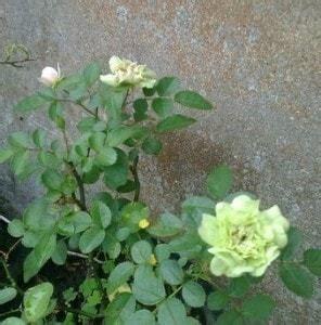 Mawar Hijau Green Roses Plants Tanaman Bunga Hias Unik Langka jual bibit unggul tanaman mawar hijau green bibit