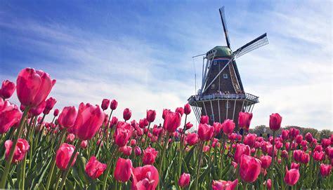wallpaper bunga full hd tulips flowers field mill sky netherlands hd wallpaper