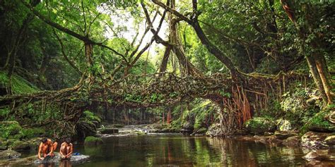 what is root bridge this is the ingenious tree shaping technique used to make living root bridges in india