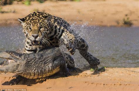jaguar hunts caiman 10 pics amazing creatures