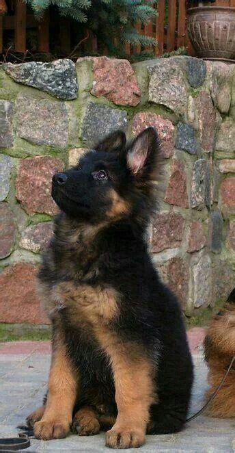 images  german shepard puppies  love love   pinterest beautiful dogs