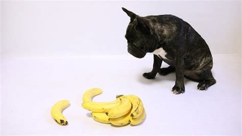 can dogs eat bananas can dogs eat bananas dogtime