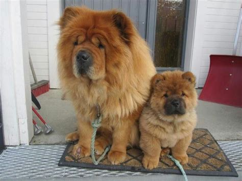 how much are chow chow puppies 1000 ideas about chow chow dogs on chow chow chow chow puppies and