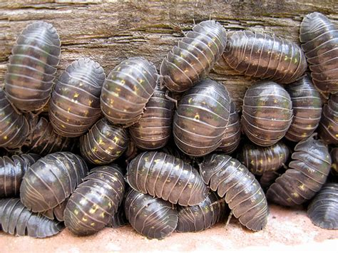 how to get rid of woodlice in my bathroom how to get rid of woodlice safeguard pest control