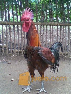 Jual Bibit Ayam Kalkun Di Malang ayam pelung ketawa kalkun mutiara bekisar malang jualo