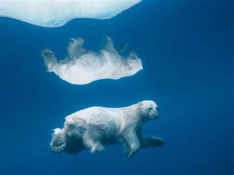 underwater polar bear slider puzzle national geographic hd blog free jigsaw puzzles national