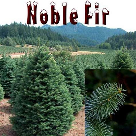 noble christmas mountain noble fir trees in los angeles