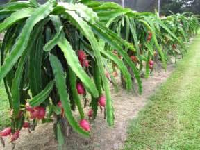 Wholesale Fruit Trees For Sale - dragon fruit pitaya hylocereus sp