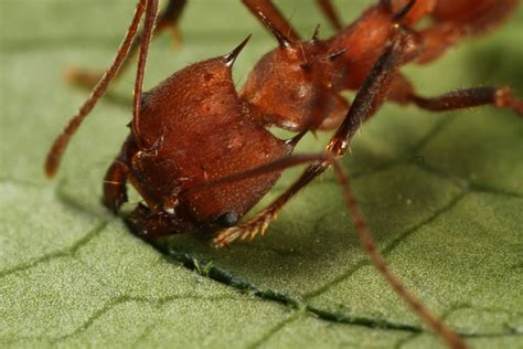 Cutter Ats ants and us can society take a leaf from the leaf cutter s book