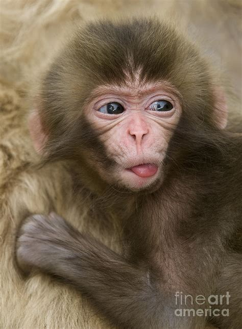 Baby Snow Monkey, Japan Photograph by John Shaw