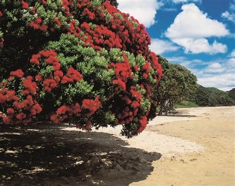 best real christmas tree nz 17 best images about pohutukawa on trees workshop and new zealand