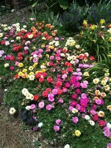 moss rose portulaca grandiflora arthur in the garden