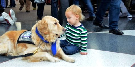 what is a comfort dog cuddly comfort dogs at airport help passengers de stress