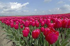 1000 images about the magnificient europe tulip festval
