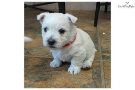 west highland terrier puppies for sale near me west highland white terrier westie puppy for sale near columbia jeff city