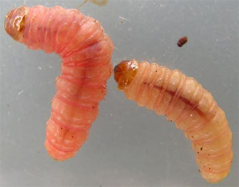 bed bug larva bed bug larval stage 6 bed bug larvae photos