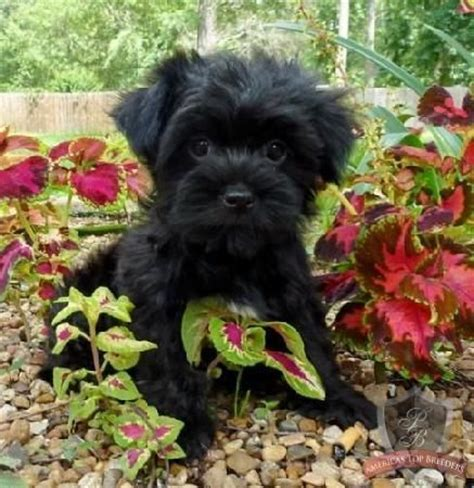 havanese puppies raleigh nc best 25 havanese puppies ideas on breeds pictures havanese and