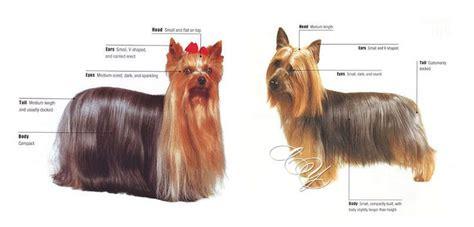 yorkie vs terrier silky terrier y terrier diferencias cutest animals