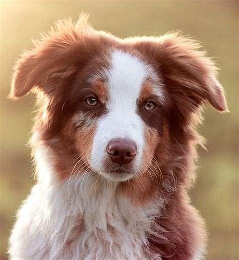 best looking dogs 24 best images about and other aussies on miniature australian