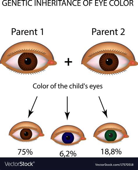 eye color genes eye color inheritance inheritance gene interaction in