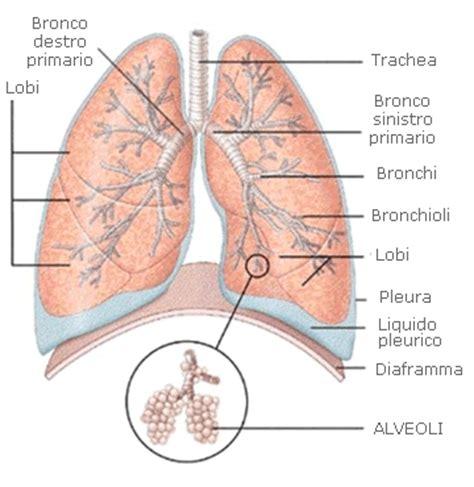 vasi polmonari anatomia fisiologia apparato circolatorio e respiratorio