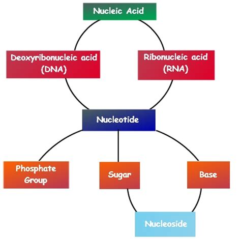 exle of nucleic acid gallery nucleic acid definition