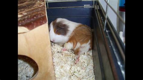 meerschweinchen schlafen meerschweinchen lili beim einschlafen schlaf kindlein