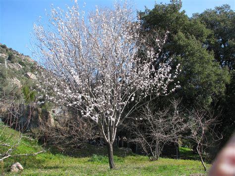 Olivier De Bohème Persistant by Plantes De Balogna En Corse