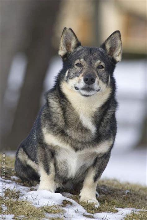 wolf corgi puppy swedish vallhund canidae dogs wolf