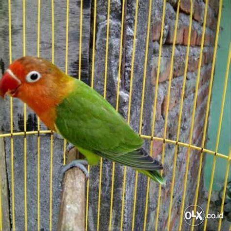 Bird Josan jual bird josan anakan istimewa harga nego burung 9