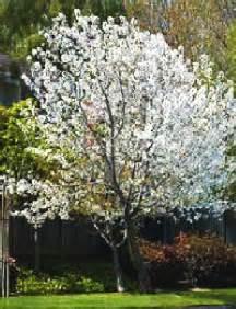 snow goose cherry tree a snow goose cherry tree clarksville tn online