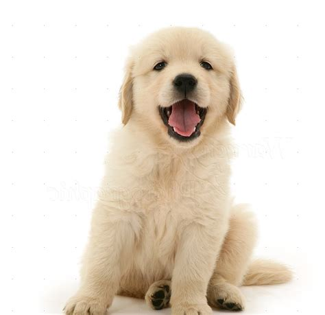 white golden retriever puppies bc sitting pictures on animal picture society