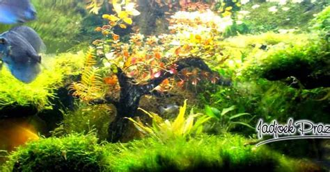 aquascape tanpa pasir membuat aquascape sederhana simple aquascape