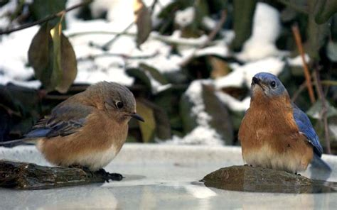 eastern bluebirds at heated water bath